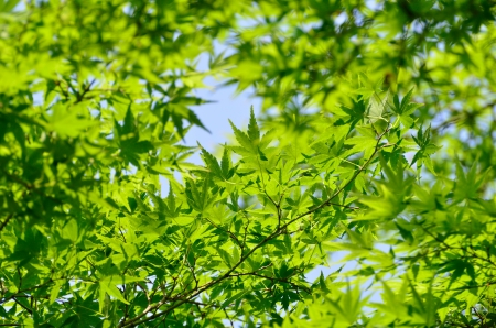 Green young leaves of Palmatum. Early summer season, the fresh green. Stock Photo - 13678665