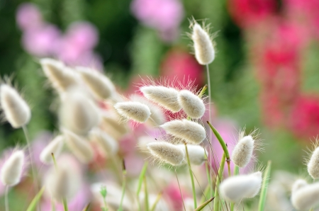 Close-up Hares tail (Lagurus ovatus) in summer. Stock Photo