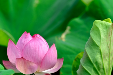 Nelumbo nucifera. The flower which basks in a solar light. photo