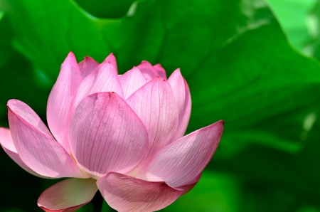 nelumbo: Nelumbo nucifera. The flower which basks in a solar light.