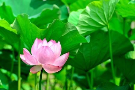 nucifera: Nelumbo nucifera. La flor que toma el sol en la luz solar. Foto de archivo