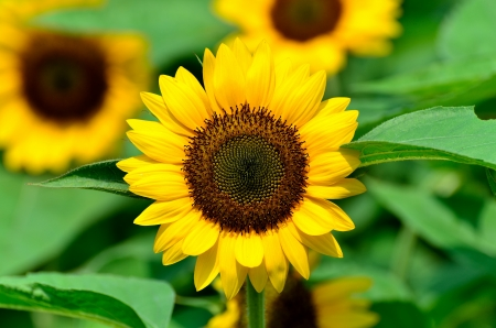 Sunflower. The flower which basks in a solar light. photo