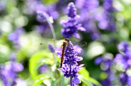 Sage and Dragonfly. Taken on a sunny day. Stock Photo