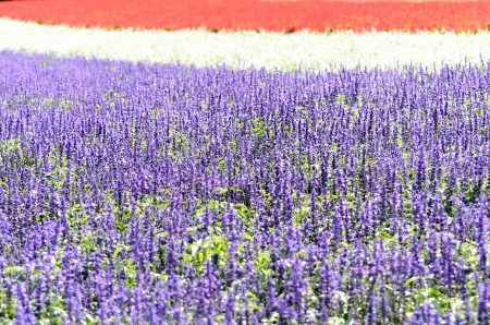 Salvia flower garden. Taken on a sunny day. Stock Photo