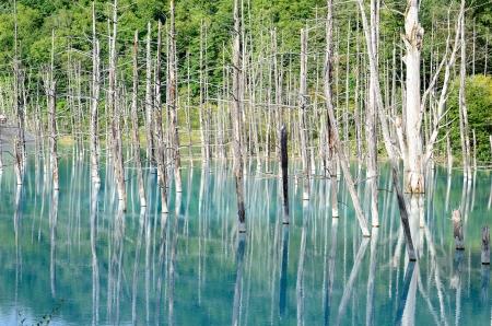 biei: Blue Pond in Biei, Shirogane. taken in Hokkaido, Japan on a sunny summer day.