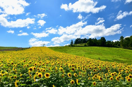 Landscape of Biei, Hokkaido. The sunflower field on a hill.