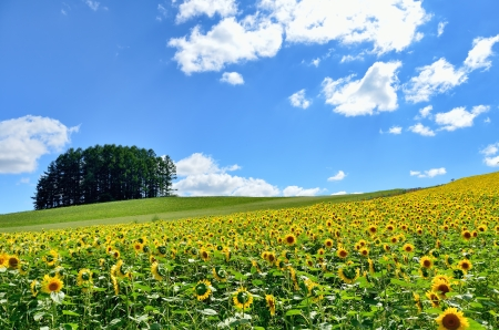 Landscape of Biei, Hokkaido  Sunflower field and a small forest on the hill