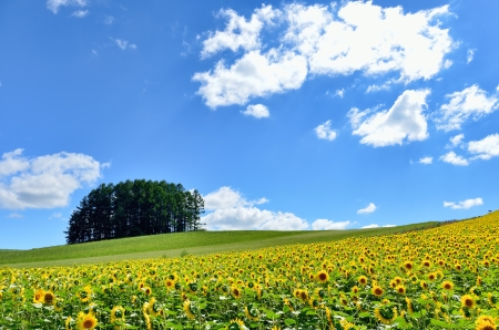 Landscape of Biei, Hokkaido  Sunflower field and a small forest on the hill Stock Photo - 15314321