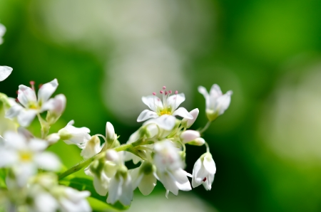 The Macro photo of White Buckwheat flowers. Stock Photo - 16031065