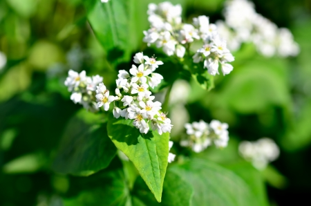 The Macro photo of White Buckwheat flowers. Stock Photo - 16031064