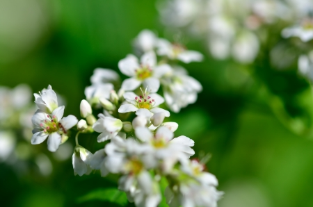 The Macro photo of White Buckwheat flowers. Stock Photo - 16031063