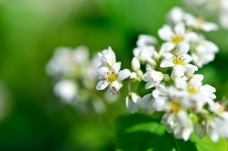 The Macro photo of White Buckwheat flowers. Stock Photo - 16031068