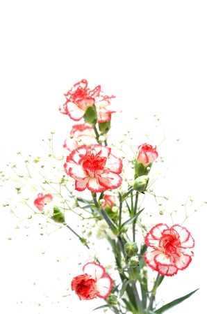 Beautiful White and Red carnations. isolated on white background. Stock Photo