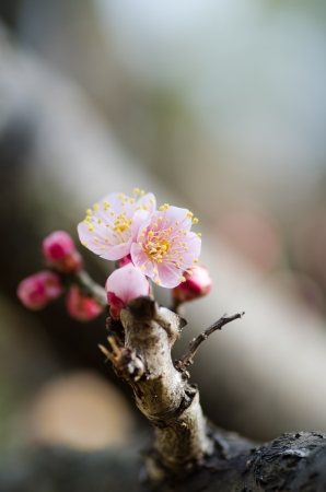 early blossoms: Pink plum blossoms. (Early spring in Japan) Stock Photo