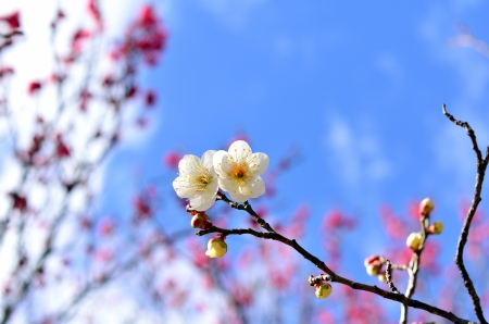 early blossoms: White plum blossoms. (Early spring in Japan)