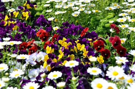 Pansies in the flower bed. (Flower-beds in the spring)
