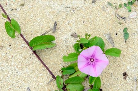 convolvulus: Calystegia soldanella which blooms in the sandy beach.