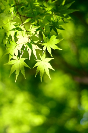 verdure: Maple verdure. (Early summer season) Stock Photo