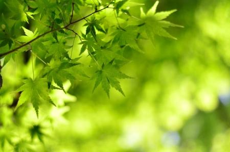 Maple verdure. (Early summer season) Stock Photo - 20400613