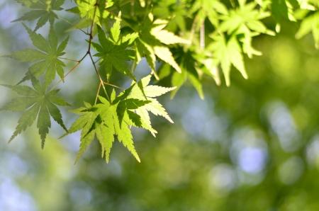 verdure: Maple verdure. (Early summer season) Stock Photo