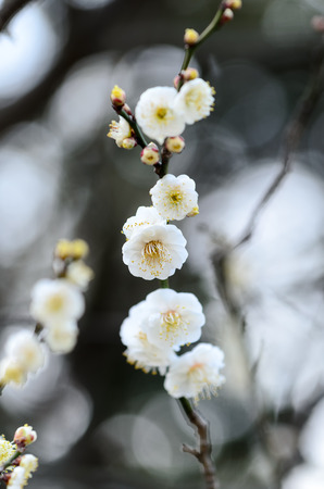 early blossoms: White plum blossoms. (Early spring of Japan)