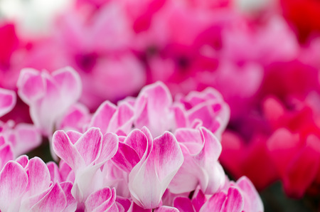 Flowers of cyclamen. Close-up of Pink Colored Cyclamen flowers. photo