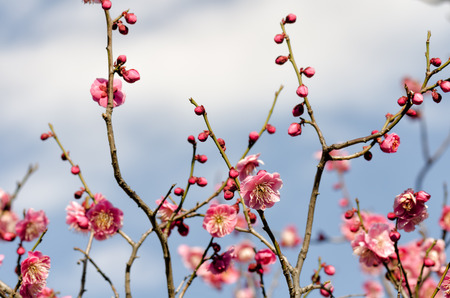 early blossoms: The Plum blossoms. (Early spring of Japan) Stock Photo