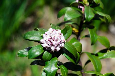 dafne: Daphne odora. Primavera - Close-up di fiori di daphne.