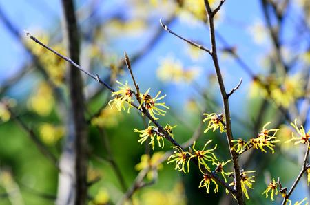 hamamelis: Hamamelis japonica. Flowering in early spring in Japan.
