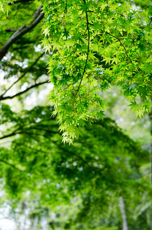verdure: The Maple verdure. (The Early summer season)