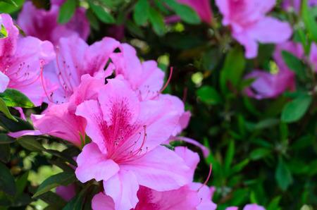 ericaceae: Azalea (Rhododendron pulchrum). Preso nella primavera del Giappone.