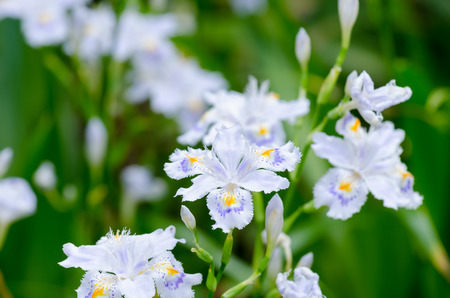 Iris japonica (Fringed iris). Taken in the spring of Japan. photo