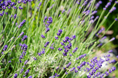 early summer: lavender. Taken in the Early summer of Japan. Stock Photo