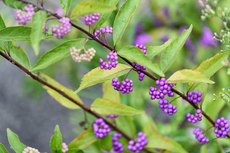 dichotoma: Callicarpa dichotoma (common names, Purple Beautyberry or Early Amethyst) Stock Photo
