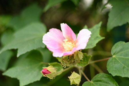 rosemallow: Mutabilis Hibiscus. Preso in Giappone in autunno