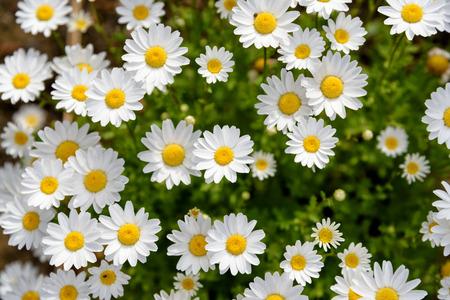 leucanthemum: North Pole. (Leucanthemum paludosum) (Flower-beds in the spring)