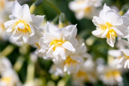 白い八重咲きの水仙。日本の冬で撮影。 写真素材