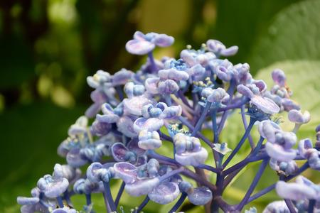 bigleaf hydrangea: Ayesha bigleaf hydrangea. Taken by Japan in the spring.