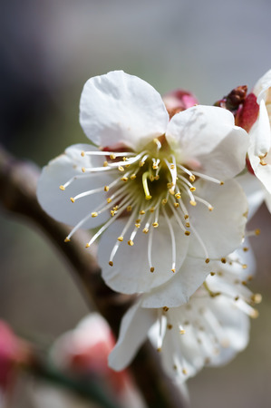 early blossoms: Plum blossoms. Taken in early spring of Japan.