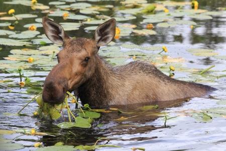 Female moose eating yellow flowers 스톡 콘텐츠