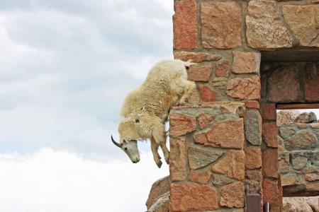 cabra montes: Cabra mont�s saltando Foto de archivo
