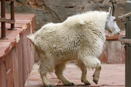 cabra montes: Cabra de monta�a dentro del edificio