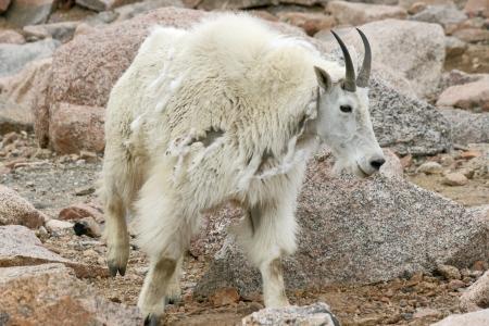 berggeit: Berggeit vergieten wol