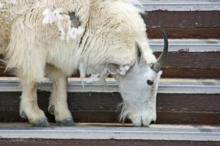 cabra montes: Cabra mont�s que lame la sal de las escaleras Foto de archivo