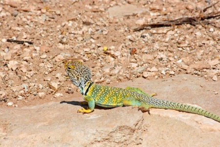desert lizard: Eastern Collared Lizard - Arizona s desert