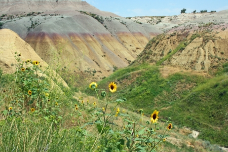 Wild sunflowers in Badlands, South Dakota photo