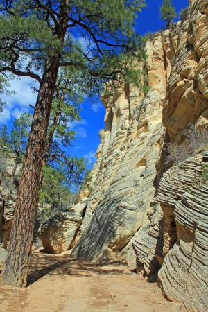 ponderosa pine: Ponderosa pine in Lick Wash Stock Photo