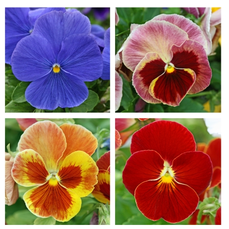 Collage with 4 pansy flowers Stock Photo