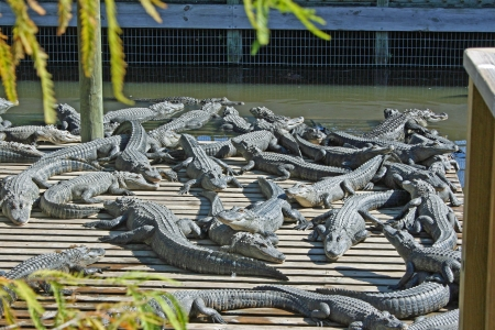 alligators: Group of alligators