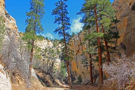 ponderosa: Ponderosa pines in Lick Wash, Utah